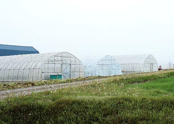 しょうが栽培の写真