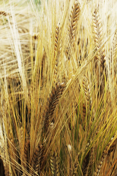 二条大麦の写真