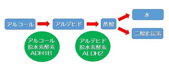 アルコール分解の図